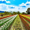 Tulip Garden likely to be thrown open by March end