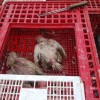 Two persons arrested for selling dead chicken for 50 Rupees in Kupwara