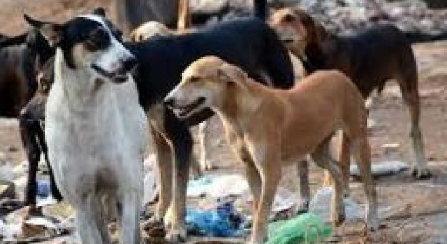 Stray dogs continue terror in Sgr, residents blame authorities for not taking appropriate steps to reduce increasing dog population