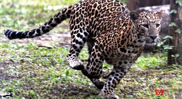 Leopard spotted four days ago, captured alive in Bagh-e-Mehtab