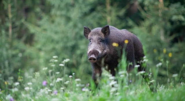 Rising population growth of pigs will have bad impact on ecosystem: Experts