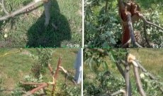 Police register case after miscreants cut down scores of apple trees in South Kashmir
