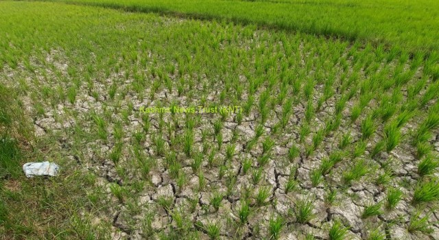 Water scarcity hits paddy cultivation in Pulwama