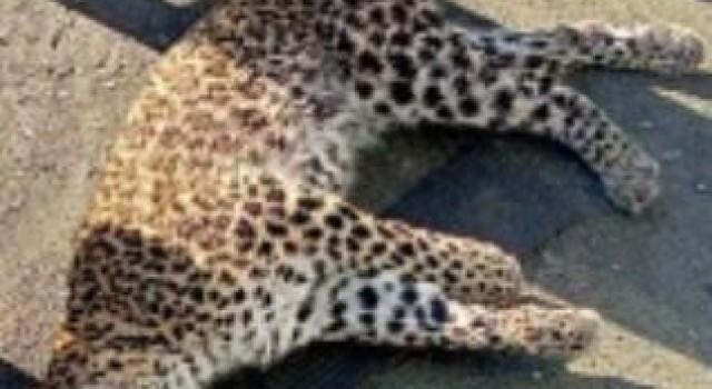 Leopard electrocuted in Karnah Kupwara