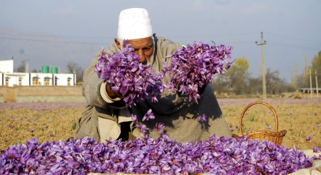 Production, prices of Kashmiri saffron go up