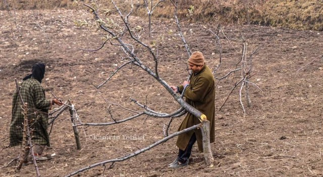 100's of apple trees axed in Central Kashmir