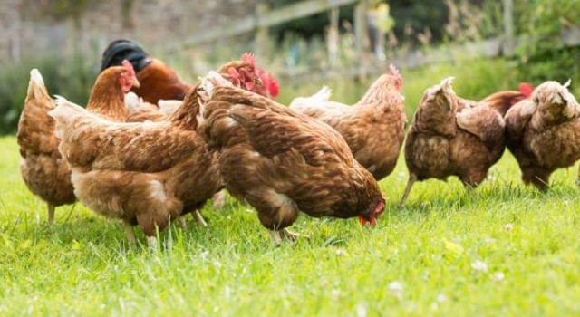 Bird flu cases reported among domestic birds in Udhampur